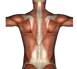 dos-anatomie